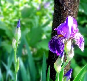 Neighbor's Iris
